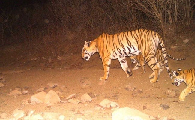 Image result for Tiger eats tigress in Madhya Pradesh