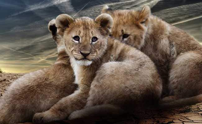 After Death Of 23 Lions, Carcasses Of 3 Cubs Found Near Gir