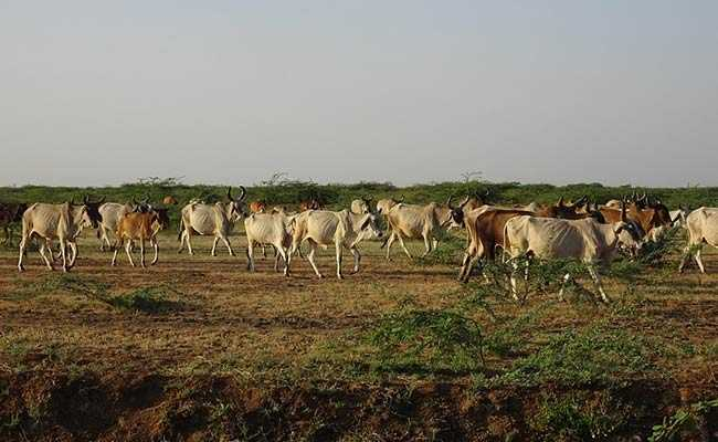 Karnataka Launches Helpline 24x7 For Cattle Breeders, Dairy Farmers