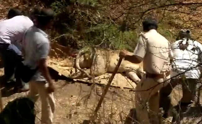 Canine Distemper Virus Found In Some Dead Lions In Gir, Says Government
