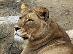 Lioness Dies At Gujarat Rescue Centre, Officials Say Kidney Failure Cause