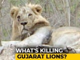 Video : Vaccine Drive To Save Gir's Lions Raises Questions
