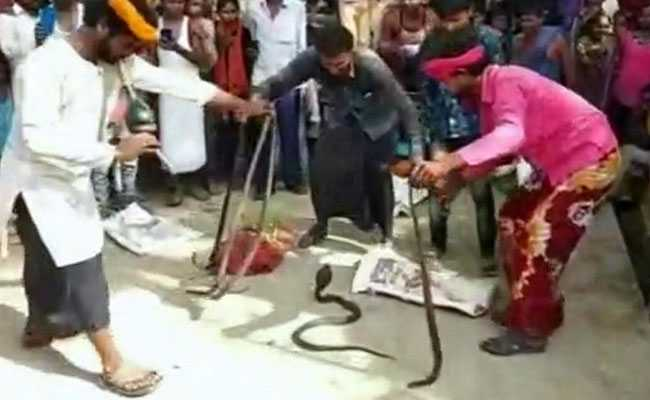 Panic Among Residents After 14 Poisonous Snakes Recovered From UP Village