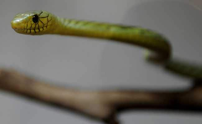 Venomous Snake Hides After Biting Breeder In Prague, Police On Alert