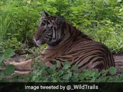 Royal Bengal Tigress Sundari To Be Tranquilised After Man Killed In Odisha