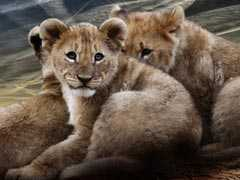 2 Lion Cubs Found Dead In Gir, Officials Suspect Infighting