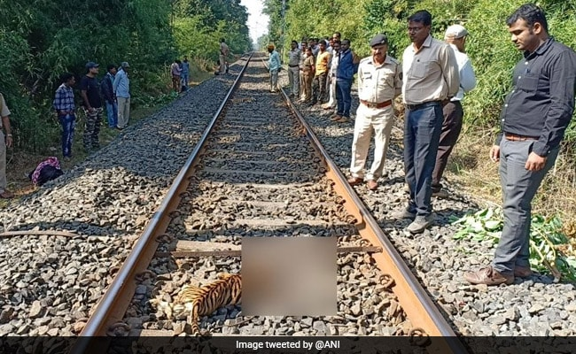 3 Tiger Cubs Die After Being Hit By Train In Maharashtra