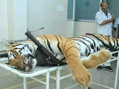 Tigress Avni Was Facing Away From The Shooter, Reveals Post-Mortem Report