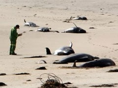 "These 50 Beached Whales Perish Because Of ""Ocean Warming'"