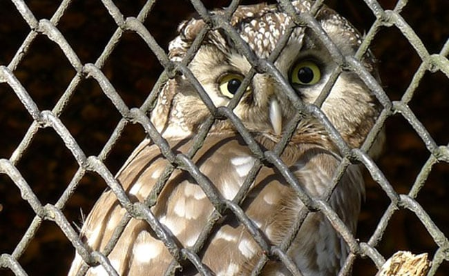 Married Delhi Man Killed Owl Allegedly To Use As Voodoo To Attract Woman