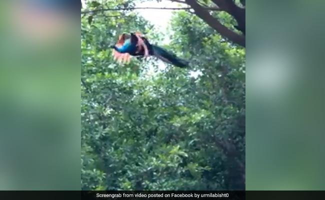 Viral Video: जंगल में कुछ इस तरह उड़ा मोर, देखने से खुद को रोक नहीं पाएंगे आप