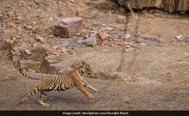 On Camera, Tigress Chases Tourist SUV In Maharashtra
