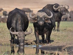 Over 400 Buffaloes, Apparently Chased By Lions, Drown In Botswana River