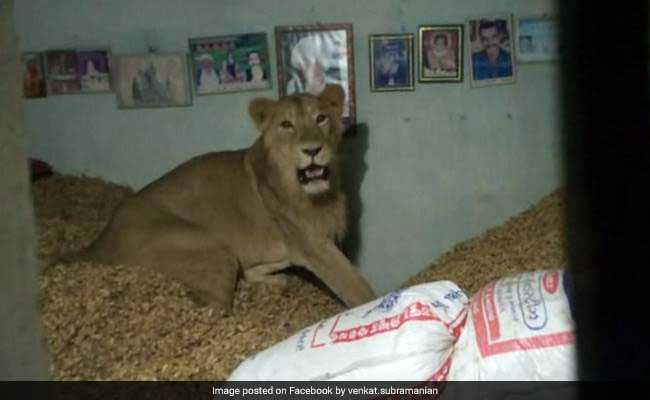 Lion Sneaks Into Farmer's Home, Relaxes On Heap Of Groundnuts
