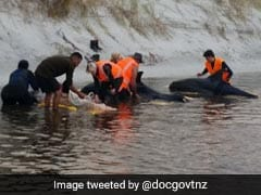 6 Stranded Whales Refloated In New Zealand