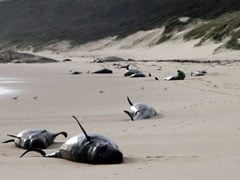 Plane Spots 28 Dead Whales Lying On Beach In Australia