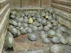 """482 Rare """"Sundhari"""" Turtles Found Dead In Pond In Uttar Pradesh"""