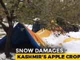Video : Heartbreaking Video Tells The Tragic Tale Of Kashmir's Apple Growers