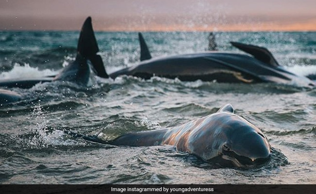 'I'll Never Forget Their Cries': Blogger Finds 145 Stranded Whales On New Zealand Beach