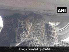 Leopard Cub Found Hiding Under Parked Car Near Court Complex In Shimla