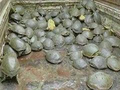 उत्तर प्रदेश: इटावा के एक तालाब में दुर्लभ प्रजाति के 482 'सुंदरी' कछुए मृत मिले