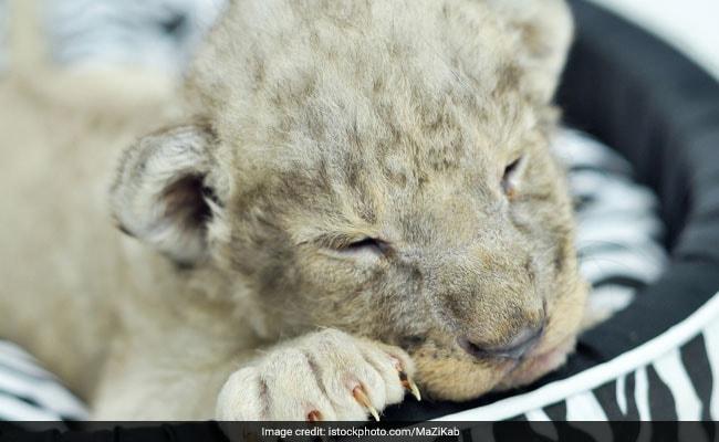 Lion Cub Found Inside Luxury Car In Paris