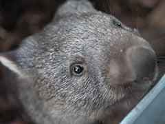 Scientists Stuffed Balloons In Dead Wombats To Learn Why They Poop Cubes