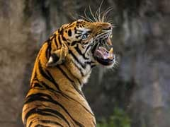 Man Killed By Tiger In Corbett Tiger Reserve