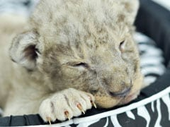 Lion Cub Found Inside Luxury Car In Paris