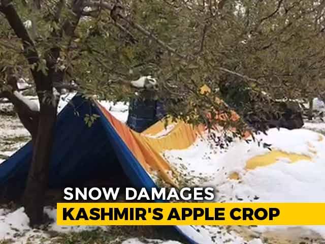 Video : Heartbreaking Video Tells The Tragic Tale Of Kashmir's Apple Growers