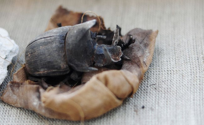 Mummified Scarab Beetles, Thousands Of Years Old, Found In Egypt Tombs