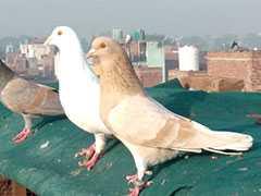 गाजियाबाद में कबूतर चोरी, दाम सुनकर रह जाएंगे हैरान