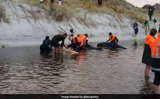 Up to 145 Whales Die in Mass Stranding in New Zealand