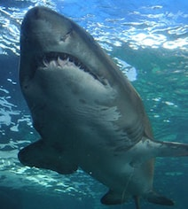 Surfer Trainee Attacked By Shark In Australia, Sixth Incident In 2 Months