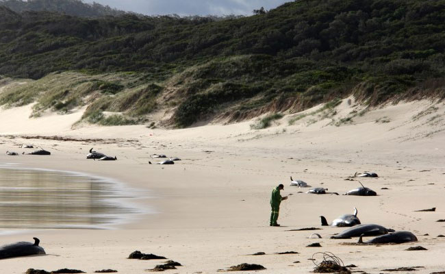 These 50 Beached Whales Perish Because Of'Ocean Warming