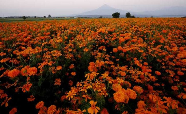 Mexico's Sea Of Orange Flowers Guides The Souls Of The Dead