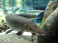 Predator North American Fish Found In Pune's Pavana Dam