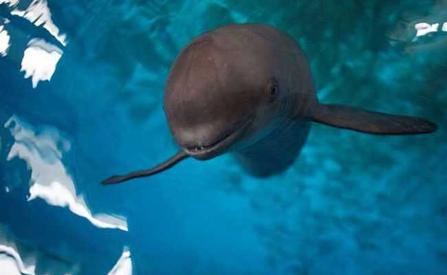 Smiling At Danger, China's Finless Porpoise Fights To Survive