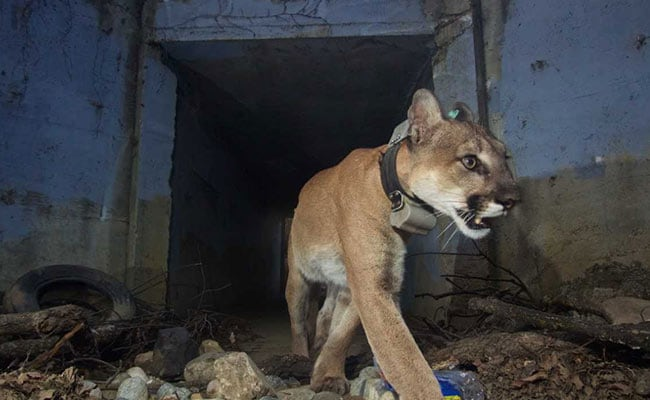 Mountain Lion That Crossed Freeways Died After California Wildfire