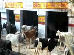 UP Farmers Lock Stray Cows In School, Health Centre To Protect Crops