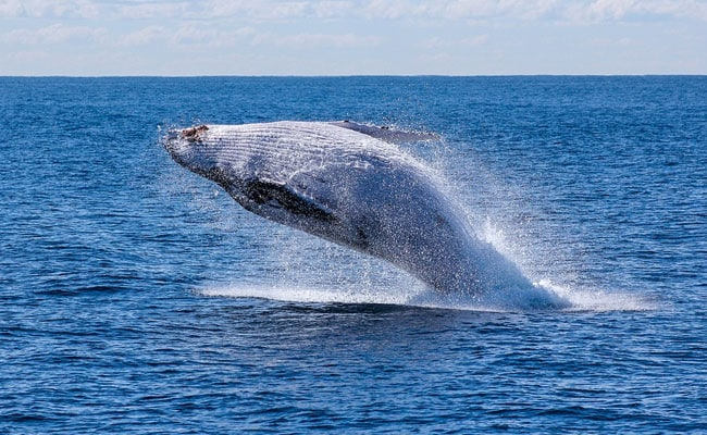 Japan To Resume Commercial Hunting Of Whales, Sparks Criticism