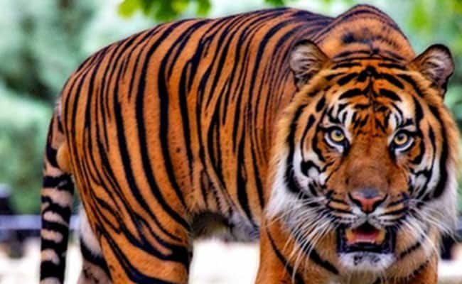 Karnataka Launches Hunt For Tiger Believed To Have Killed 2 In Bandipur
