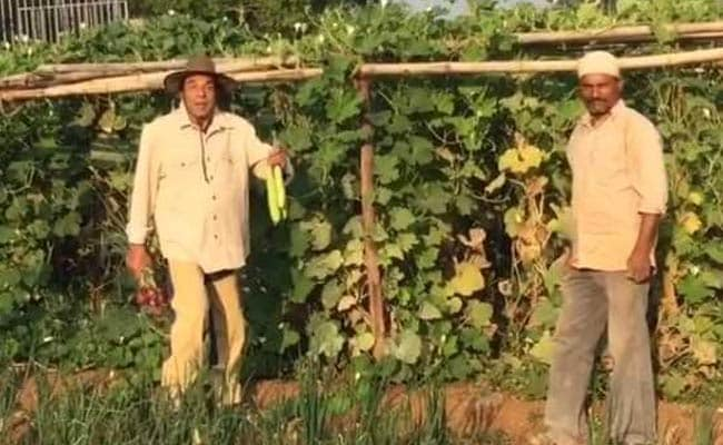 धर्मेंद्र ने 83 की उम्र में खेतों में उगाए प्याज, मूली, गोभी और लौकी, बोले- खेती का बहुत नशा आ रहा है...देखें Video