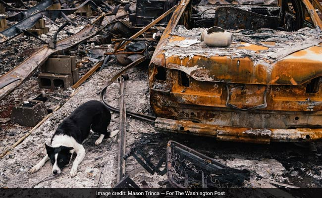 Dogs Help Wildfire Survivors Recover Something Precious: Human Ashes