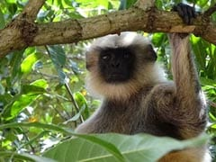 Six Men Arrested In Vietnam For Killing, Eating Endangered Monkey