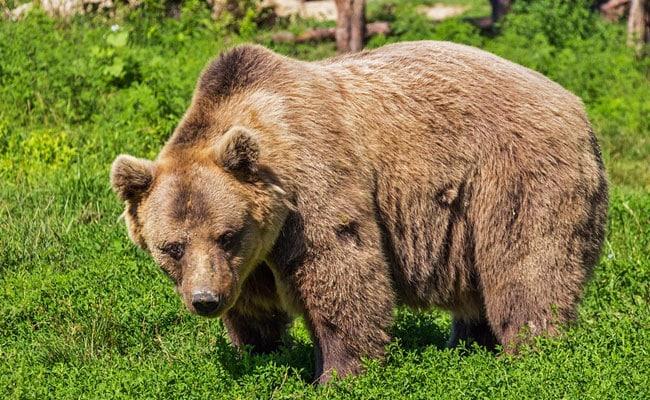 4 Killed, 3 Injured In Bear Attack In Chhattisgarh