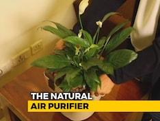 A Plant Or An Air Purifier?