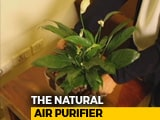 Video : A Plant Or An Air Purifier?