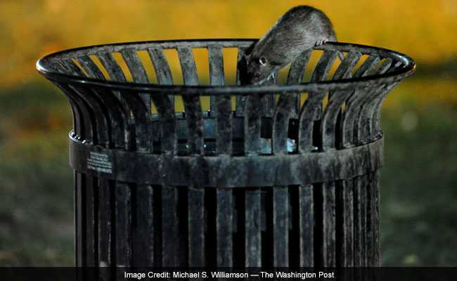 A Squirrel? No, It's A Rat On The White House Lawn