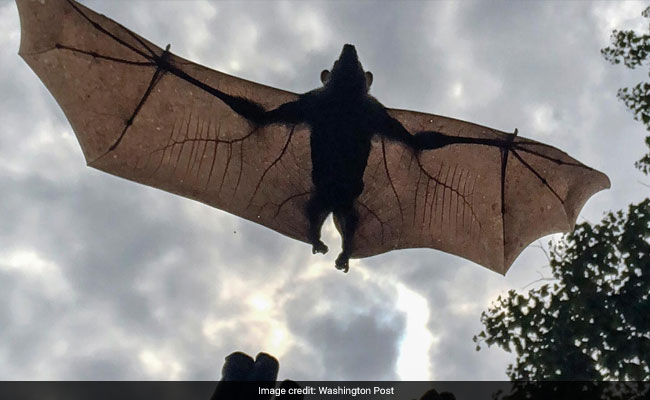 Watch: Scientists Glue Tiny GPS Trackers On Bats That Carry Lethal Virus